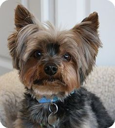 Jual Anjing Yorkshire Terrier Super Mini Anjing Dijual