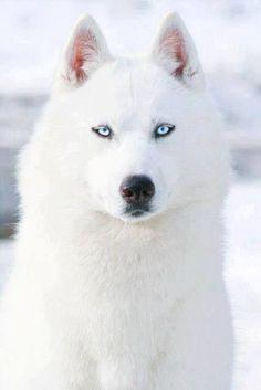 #Amazing #photography White siberian Husky Huskies Dog Puppy Dogs Puppies Huski