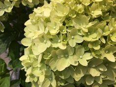 Hydrangea Little Lime Hydrangea, Lime, Fruit, Plants, Shrubs, Hydrangea Macrophylla, Limes, Planters, Hydrangeas