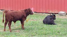 Halter Training Dexter Cattle