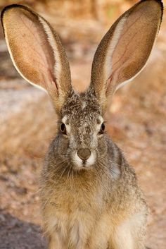 I can clearly hear what you are sayin' about me! #rabbit #wild #ears