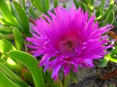 Hottentots Fig, Kaapsevy - Carpobrotus edulis - Gardening in South Africa Plants, Garden, Sacred Garden, Soil Texture, Colorful Shrubs, Organic Mulch, Flowers, Coastal Gardens, Waterwise Garden