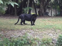 Black Panther roams around Xcaret Grounds enclosed of course