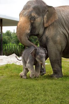 It's A Girl! Ringling Bros. and Barnum & Bailey Center for Elephant Conservation® Announces Birth Of 24th Asian Elephant Calf
