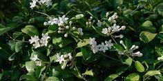 Συμβουλές για τη φροντίδα της στεφανωτής, γνωστή και ως γιασεμί της Μαδαγασκάρης. Τι συνθήκες χρειάζεται και όσα πρέπει να γνωρίζουμε για να ευδοκιμήσει. Flower Garden, Plants, Garden, Agriculture, Flowers