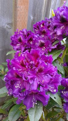 "R. "" Purple Splendor ""   Photo by Jan R. Fuller"