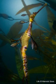 Male seadragon with eggs attached to tail, Australia.