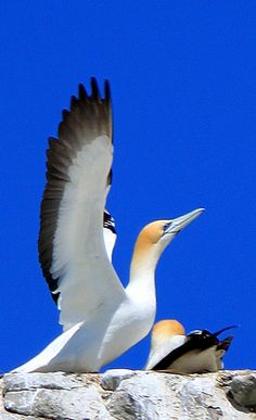 Gannet at Muriwai Beach, West Auckland, New Zealand . By Geeta Uka