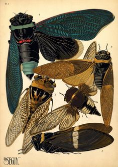 Cicadas by EA (Emile-Alain) Séguy, 1920s (ca.1928). 1. Tacua speciosa. Indes; 2. Polyneura ducalis. Indes Or.; 3. Cicada saccata. Australie; 4. Cicada fascialis. Siam; 5. Tozena melanoptera. Indes Or. Insect pochoir (stencil) prints. Paris: Éditions Ducharte et Van Buggenhoudt