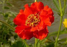 Geum: Mrs Bradshaw. Flowers all summer with deadheading. From: highaltitudegardening.blogspot.com
