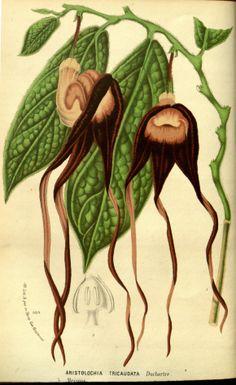 Aristolochia tricaudata - circa 1874