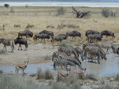 Nach viel Hitze und trockenen Gegenden werden jetzt alle belohnt, die am Ende der Trockenzeit nach Namibia fahren. Die Big Five und auch viele andere Tiere drängeln sich an den wenigen, verbliebenden Wasserlöchern.