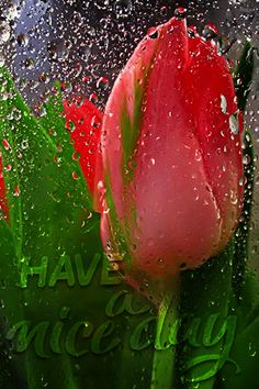 Beautiful Gif, Have A Beautiful Day, Beautiful Roses, Congratulations Quotes Achievement, Roses Gif, 27 September, Rain Art, Gif Photo, Gifs