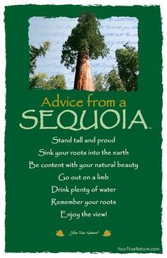 Advice from a Sequoia- Postcard- Your True Nature