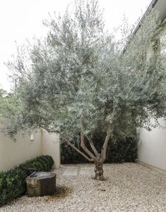 A magnificent olive tree in a gravel courtyard in Texas   Photo...