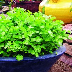 how to grow cilantro that looks like this! Lush....