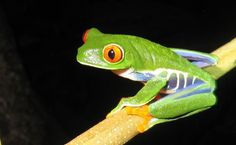 Red-Eyed Tree Frog on Black... photo by Carol S Bock