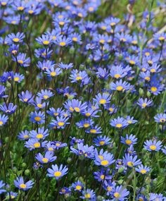 """Felicia aethiopica Tight and Tidy - """"Blue Marguerite Daisy"""" Landscaping Plants, Garden Plants, Blue Flowers, Wild Flowers, Front Yard Plants, Rabbit Garden, Side Garden, Blue Daisy, Flower Fairies"""