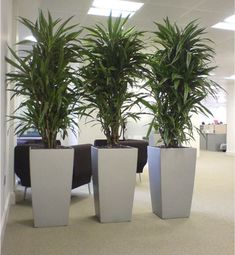 Cool Dracaena plants in silver cubico lechuza planters! great for low lighting office plants!