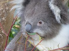 Hazel the Koala is enjoying lunch at Healesville Sanctuary. She has just moved out of mum, Emily's place, but it's ok because she's moved in to the exhibit next door!