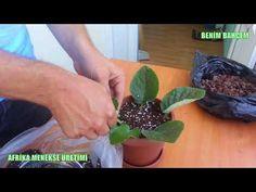 Menekşeyi Hibrit Çoğaltma, iki ayrı cinsi birleştirme. African Violet hybridize propagation - YouTube Propagation, Terrarium, Farmer, Diy, Youtube, Garden, Purple Makeup, African Violet, Vegetable Gardening