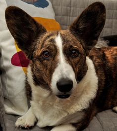 Little busy right now, Tess. We'll go for a run in a little bit, promise! Lost In The Woods, Cardigan Welsh Corgi, Blue Merle, Corgis, Little People, Animals And Pets, Cure, Boston Terrier, Dog Lovers