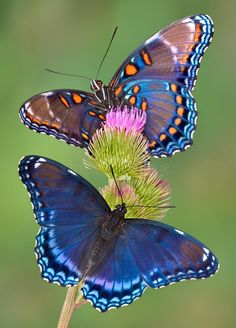 Download Red-spotted Purple Butterflies Stock Image - Image: 1704127