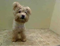 TO BE DESTROYED 01/31/14  Brooklyn Center    UNO - A0990309   My name is UNO. My Animal ID # is A0990309.  I am a neutered male cream maltese and yorkshire terr mix. The shelter thinks I am about 7 YEARS old.   I came in the shelter as a OWNER SUR on 01/25/2014 from NY 11433, owner surrender reason stated was NO TIME.
