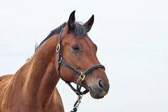 Afbeeldingsresultaat voor paarden hoofd