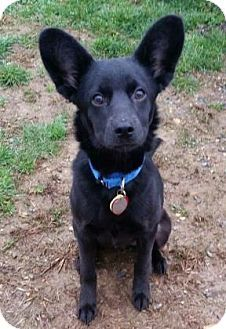 Chester Springs, PA - Schipperke Mix. Meet Max, a puppy for adoption. http://www.adoptapet.com/pet/15019109-chester-springs-pennsylvania-schipperke-mix