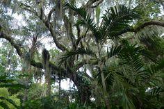 Spanish Moss - Leu Gardens Orlando
