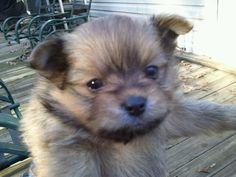 Cookie, our sweet Yorkie Pom