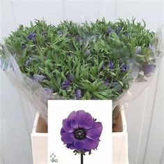 Anemone Marianne Blue, commonly known as wind flowers - 2018 Wedding Trend: Ultra Violet Purple. For lilac and purple wedding flowers to suit your colour scheme, visit our website at www.trianglenursery.co.uk/fresh-flowers!