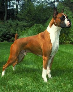 Boxer - The Boxer was developed in Germany as a medium-sized security dog. The breed combines the blood of a mastiff-type breed that was used for hunting, herding and protection with that of the Bulldog. The result is a smooth-coated, agile dog measuring up to 25 inches at the shoulder.