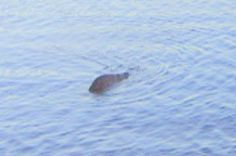 Loch Ness Monster Hunter Claims To Have Taken Best Ever Picture Of Nessie Loch Ness Monster Loch Ness Monster Sightings Legendary Monsters