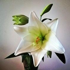 Liljankukka lumivalkoinen... #lilja #kukka #flower #lily #flowermagic #flowersofinstagram #floweroftheday
