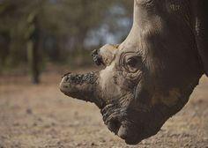Retrato de Najin, uno de los únicos cinco ejemplares que quedan vivos de la subespecie de rinoceronte blanco del norte. / TONY KARUMBA (AFP) - Última oportunidad para salvar de la caza furtiva a los grandes de África http://elpais.com/elpais/2015/02/20/ciencia/1424426311_756002.html