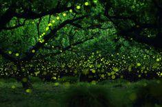 仲夏的最后一支舞,长时间曝光森林中的萤火虫 | 日本摄影师 Yume Cyan