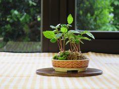 Carpinus japonica just germinate seeded this year species (Iwashide). Super mini bonsai blog
