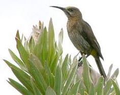 Image result for sugarbird Garden Birds, South Africa, Cape, Plants, Animals, Mantle, Cabo, Animales, Animaux