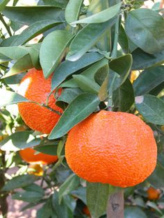 Ortanique Orange (Citrus x ortanique) a hybrid of sweet orange and tangerine