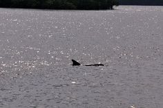 Dolphin in the Everglades