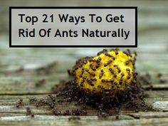 Top 21 Ways To Get Rid Of Ants Naturally. If ants have infiltrated your home already this year, or if you just want to stop them from entering at all, then here are 21 all natural ways to get rid of ants. by vladtodd Home Remedies, Natural Remedies, Ant Remedies, Get Rid Of Ants, Rid Ants, Def Not, Insect Repellent, Do It Yourself Home, Pest Control