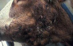 Sığırlarda Aktinobasillosis #aktinobasillosis #aktinobasilos #aktinobasilloz #aktinobacillus #Actinobacilluslignieresi #sığırhastalıkları #inekhastalıkları #bovine #cow #sığır #inek #cattle #vet #veterinary #veterinaria #animal #animals #animales #vetrehberi #vetrehbericom