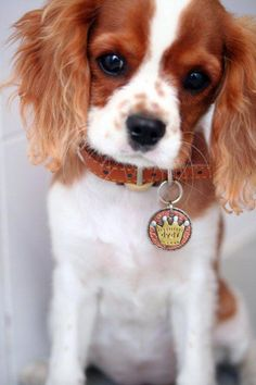 german shepherd dogs - Small to Medium Dog ID Tag CROWN pet id tag King Charles Puppy, Cavalier King Charles Dog, King Charles Spaniel, Cavalier King Spaniel, Cute Dogs And Puppies, I Love Dogs, Doggies, Cutest Dogs, Roi Charles