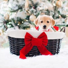 Holiday Puppies: A Nightmare After Christmas? - Dogtime - The key to making a Christmas puppy a successful gift is to do your research ahead of time. Dog Christmas Pictures, Christmas Puppy, Christmas Mood, Christmas Animals, Christmas Morning, Xmas, Merry Christmas, Days Before Christmas, Puppies For Sale