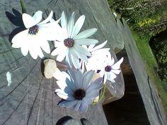 flores de Iloca.