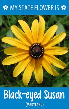 #Maryland's state flower is the Black-eyed Susan. What's your state flower? http://pinterest.com/hometalk/hometalk-state-flowers/