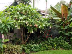 Angels trumpets (brugmansia) are native to the subtropical forests of Brazil and Chile. There they grow beneath other trees in an unruly and tangled mess of branches,...