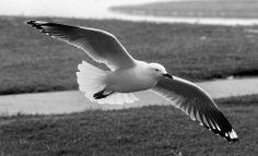 Gull Silver  Photo Marj Webber